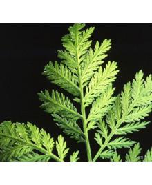 pelyněk roční artemisinin